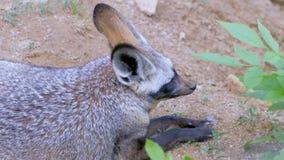 Afrikanska rävar stock video