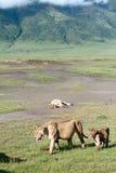 Afrikanska rovdjur i Ngorongoro, lejoninna och gröngöling. Arkivbilder