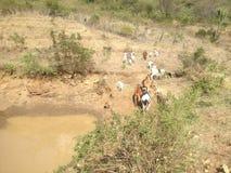 Afrikanska savannahgräsländer som bevattnar hålet Arkivbilder