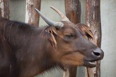 Afrikanska skogbufflar (den Syncerus caffernanusen) Fotografering för Bildbyråer