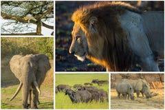 Afrikanska stora fem Arkivfoto