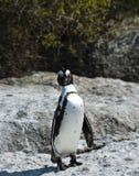 afrikanska strandstenblockpingvin Arkivfoto