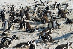 afrikanska strandstenblockpingvin Arkivfoton