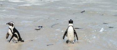 afrikanska strandstenblockpingvin Arkivbilder