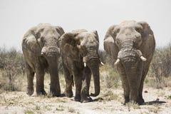 Afrikanska tjurelefanter (Loxodontaafricanaen) Fotografering för Bildbyråer