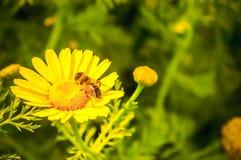 Afrikanska tusensk?nor f?r Gazania, tusensk?na som sammansatta blommaskuggor av gult som v?xer i sommar Dess blomma v?xter i Aste arkivfoto