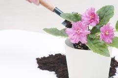 Afrikanska violets för Saintpaulia Transplantera växter och att bevattna, vit bakgrund Arkivfoto
