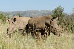 Afrikanska vita noshörningpar Royaltyfri Foto