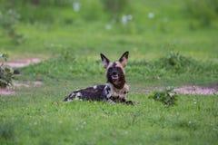Afrikanska Wild förföljer Royaltyfri Fotografi