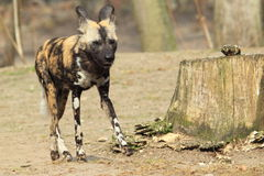 Afrikanska wild förföljer arkivfoton