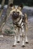 Afrikanska Wild förföljer Royaltyfria Foton