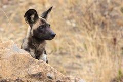 Afrikanska Wild förföljer Arkivbilder