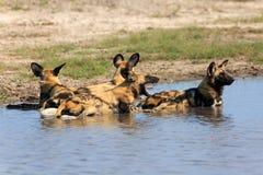 Afrikanska Wild förföljer Royaltyfri Foto
