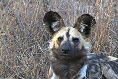 Afrikanska Wild förföljer Royaltyfri Bild