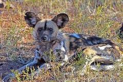 Afrikanska Wild förföljer Fotografering för Bildbyråer