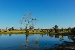Afrikanskt damm med reflexion av trädet Royaltyfria Foton