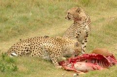 afrikanskt djurliv Arkivbild