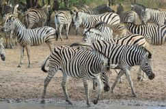 Afrikanskt djurliv - sebra, navet av sebratownen royaltyfria bilder