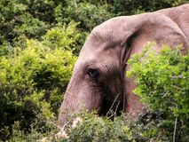 afrikanskt elefanthuvud Arkivbilder