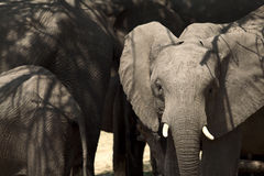 afrikanskt elefantståendebarn Royaltyfri Fotografi