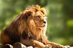 afrikanskt koppla av för lion Arkivfoton
