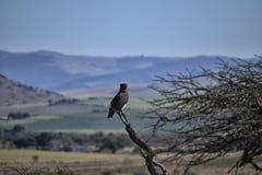 Afrikanskt landskap med den sätta sig Svart-chested ormen Eagle fotografering för bildbyråer