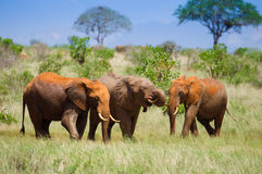 Afrikanskt landskap med röda elefanter Arkivbild