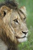 Afrikanskt lejon Arkivfoto