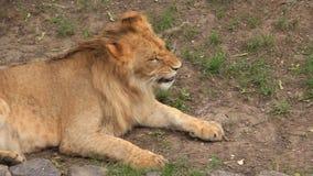 Afrikanskt lejon stock video
