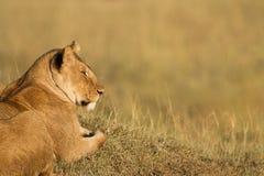 Afrikanskt lejon Royaltyfria Foton
