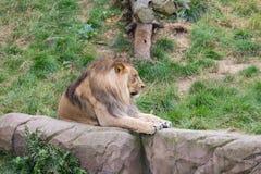 Afrikanskt lejon i den Antwerp zoo, Belgien Fotografering för Bildbyråer