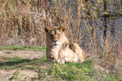 Afrikanskt lejon på naturbakgrund wild djur Royaltyfri Foto