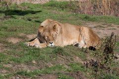 Afrikanskt lejon på naturbakgrund wild djur Arkivfoton