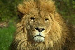 Afrikanskt lejon, Panthera leo, stående Fotografering för Bildbyråer