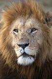 Afrikanskt lejon (pantheraen leo) arkivbild