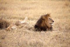 Afrikanskt lejon (pantheraen leo) royaltyfria foton