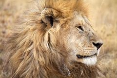 Afrikanskt lejon (pantheraen leo) arkivbilder