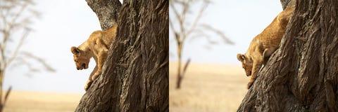 Afrikanskt lejon (pantheraen leo) royaltyfri foto