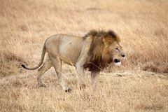 Afrikanskt lejon (pantheraen leo) arkivfoton