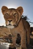 afrikanskt lionbarn Royaltyfri Foto