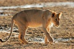 afrikanskt lionbarn Arkivbilder