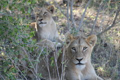 afrikanskt lionbarn Royaltyfri Bild