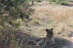 afrikanskt lionbarn Arkivfoton