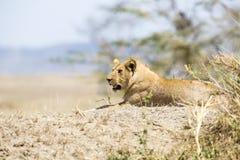 Afrikanskt manligt lejon i Serengeti fotografering för bildbyråer