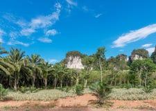 Afrikanskt olje- gömma i handflatan kolonin i Thailand Arkivfoto