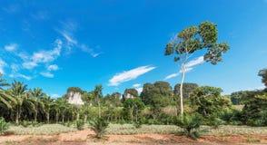 Afrikanskt olje- gömma i handflatan kolonin i Thailand Arkivbilder