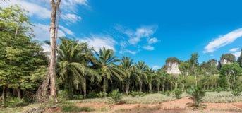 Afrikanskt olje- gömma i handflatan kolonin i Thailand Arkivfoton