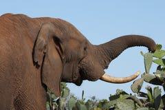 afrikanskt prickly elefantmål Arkivfoto