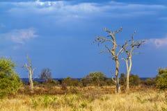 Afrikanskt savannahlandskap, efter stormen, Kruger har parkerat, Sydafrika royaltyfri fotografi