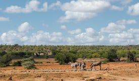 Afrikanskt savannahlandskap med vanliga sebror på waterhole royaltyfri foto
